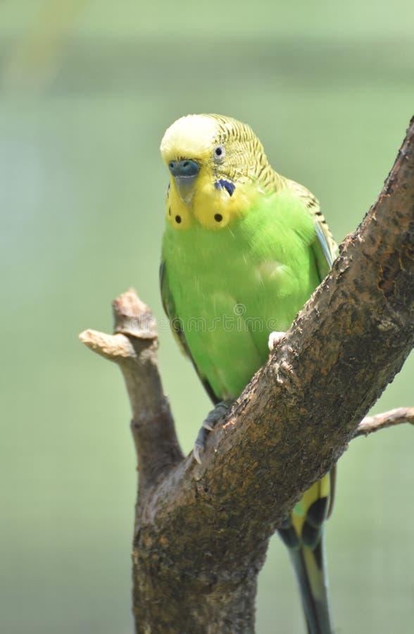 Erstaunliche gelbe und grüne Shell Parakeet Perched in einem Baum lizenzfreies stockbild
