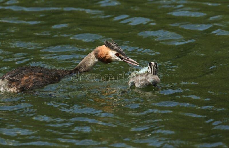 Erstaunliche Haubentaucher zwei Podiceps cristatus Schwimmen in einem Fluss Der Elternteilvogel zieht dem Baby einen Panzerkrebs  stockfoto