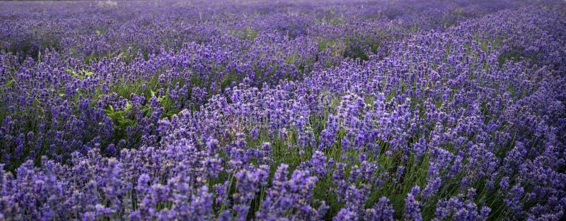 Erstaunliche Landschaft des withselective Fokus des Lavendelfeldes für emp lizenzfreies stockfoto