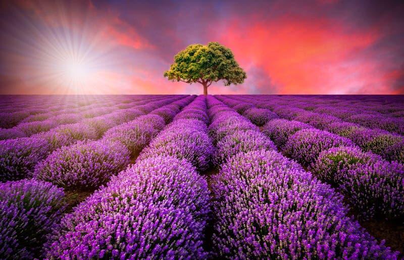 Erstaunliche Landschaft mit Lavendelfeld bei Sonnenuntergang lizenzfreie stockbilder