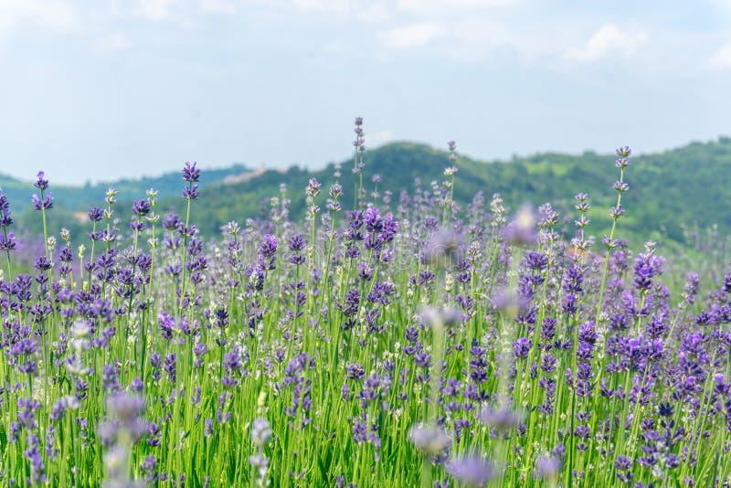 Erstaunliche Landschaft mit Lavendelfeldern in Italien stockbild