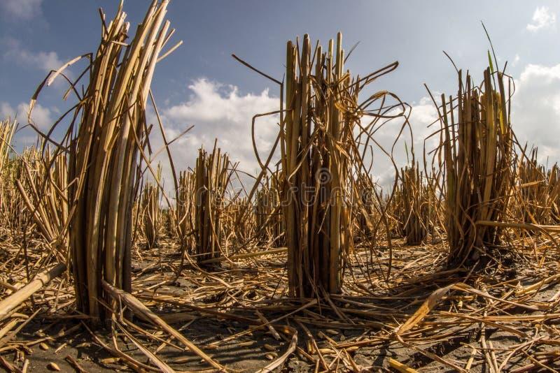 Erstaunliche niedrige Winkelsicht der Reispflanze schnitt auf Reisfeld mit bewölktem Himmel im Hintergrund stockfotos