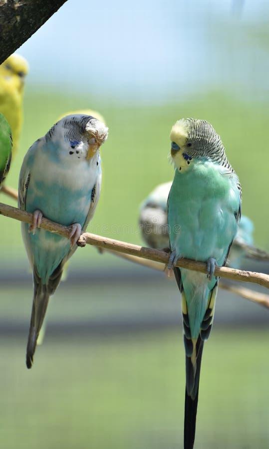 Erstaunliche Paare Sittiche mit Pastell farbigen Federn lizenzfreie stockfotos