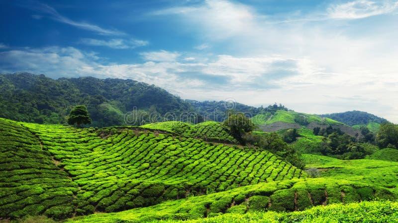 Erstaunliche Panoramaansicht der Teeplantage lizenzfreies stockfoto