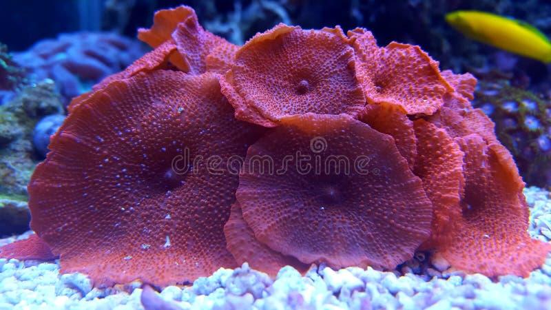 Erstaunliche rote Pilz-Kolonienkoralle stockbild
