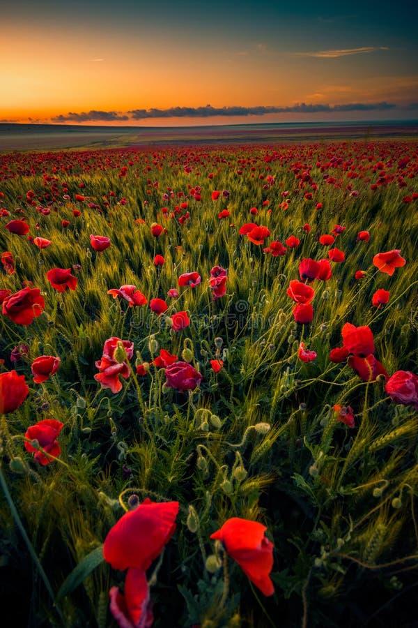 Erstaunliche schöne Vielzahl Mohnblumen, die auf einem Gebiet von whe wachsen lizenzfreie stockfotografie