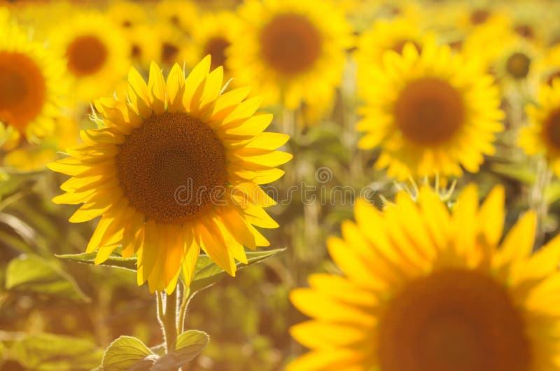 Erstaunliche Schönheit des goldenen Sonnenlichts auf Sonnenblumenblumenblättern Schöne Ansicht über Feld von Sonnenblumen bei Son lizenzfreies stockbild