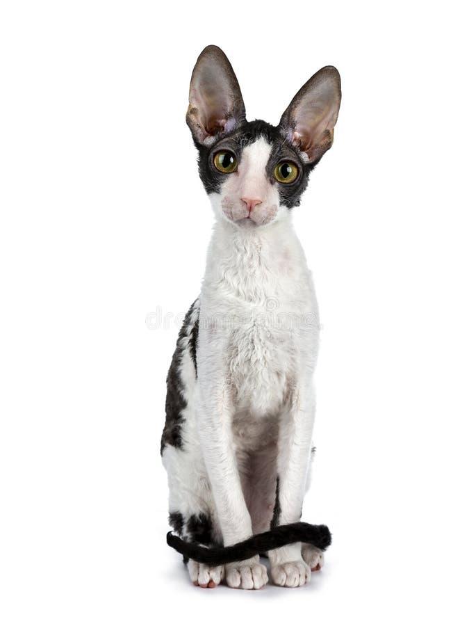 Erstaunliche schwarze zweifarbige kornische Rex-Katze auf weißem Hintergrund stockfotos