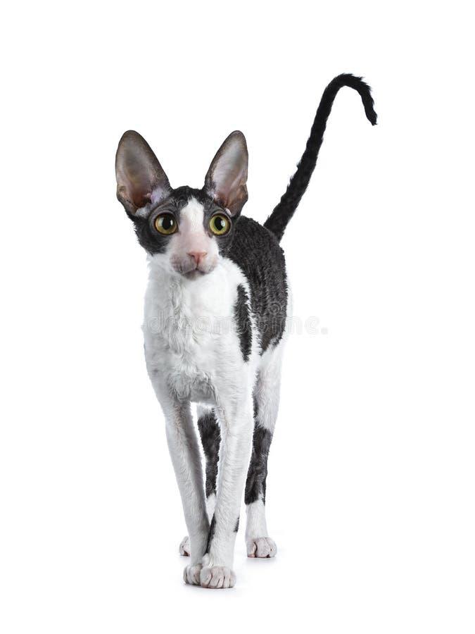 Erstaunliche schwarze zweifarbige kornische Rex-Katze auf weißem Hintergrund lizenzfreie stockfotos