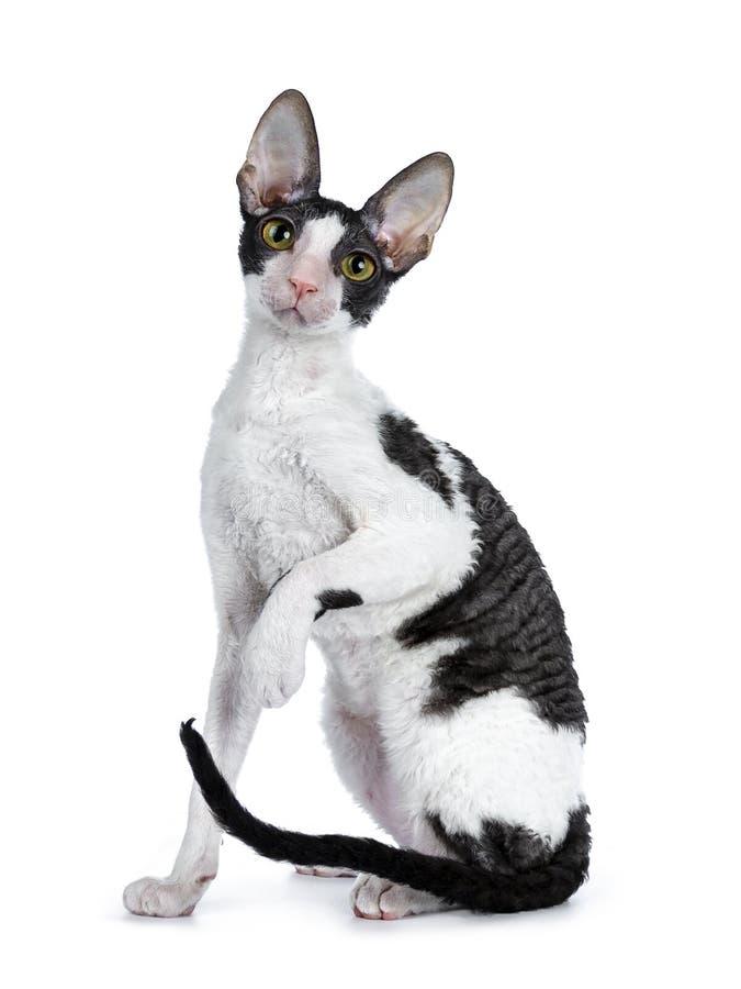 Erstaunliche schwarze zweifarbige kornische Rex-Katze auf weißem Hintergrund lizenzfreie stockbilder