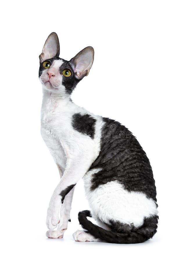 Erstaunliche schwarze zweifarbige kornische Rex-Katze auf weißem Hintergrund lizenzfreies stockfoto
