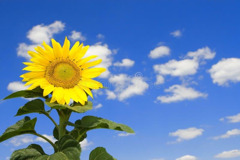 Erstaunliche Sonnenblume und blauer Himmel stockbild