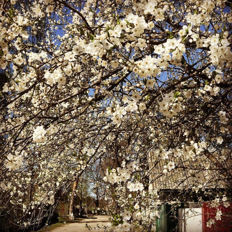 Erstaunliche weiße Blüten in Kyiv Oblast - IRPIN - KYIV - UKRAINE stockfotos