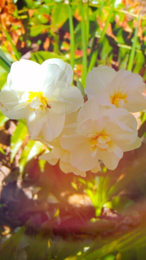 Erstaunliche wei?e Blumen stockfotos