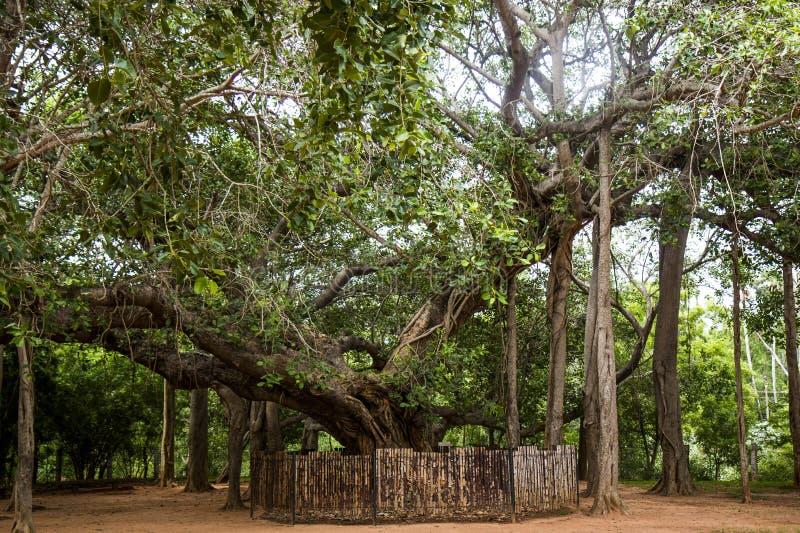 Erstaunlicher Banyanbaum in Auroville, Indien stockbilder
