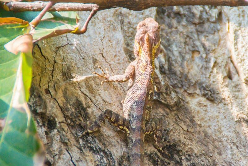 Erstaunlicher Bell Walddracheeidechse (Gonocephalus-bellii oder Calotes-mystaceus) ist- Änderung seine Hautfarbe von grünlich-Gra stockbilder