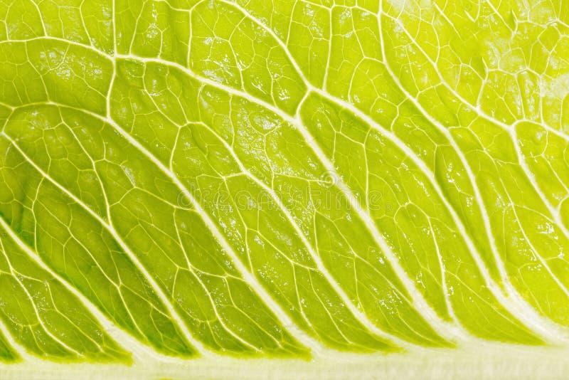 Erstaunlicher hellgrüner Salat in vergrößerter Größe stockbild