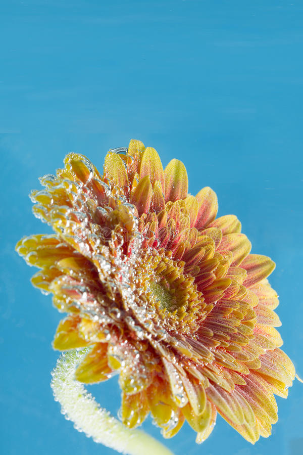 Erstaunlicher Makroschuß der Gerberagänseblümchenblume im Wasser mit Blasen auf blauem Hintergrund stockbilder