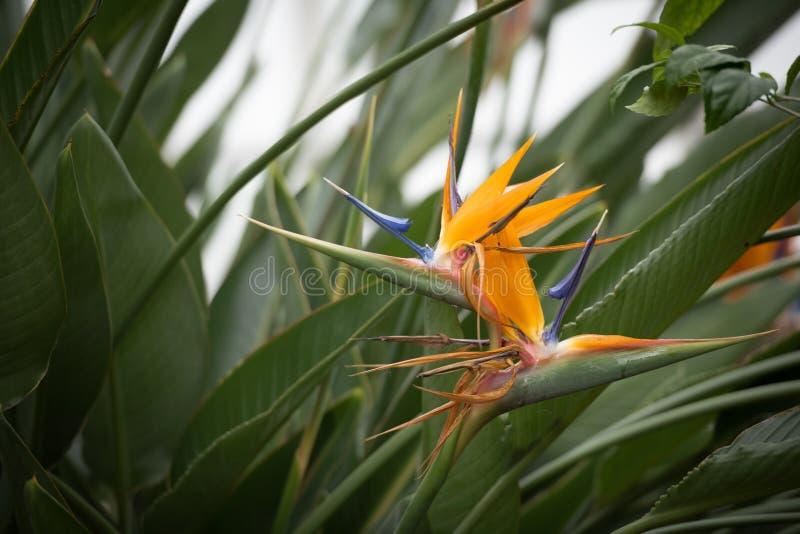 Erstaunlicher Paradiesvogel Blume lizenzfreies stockbild