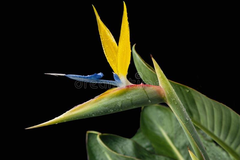 Erstaunlicher Paradiesvogel Blume auf einem schwarzen Hintergrund lizenzfreies stockfoto