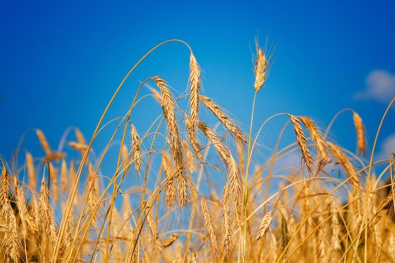 Erstaunlicher reifer Weizen. stockfoto