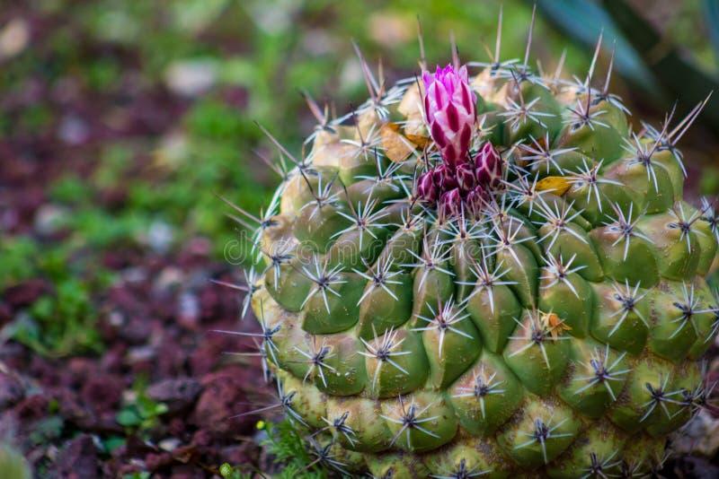 Erstaunlicher runder Fasskaktus mit rosa oder magentaroter Blume ungefähr zur Blüte lizenzfreies stockfoto