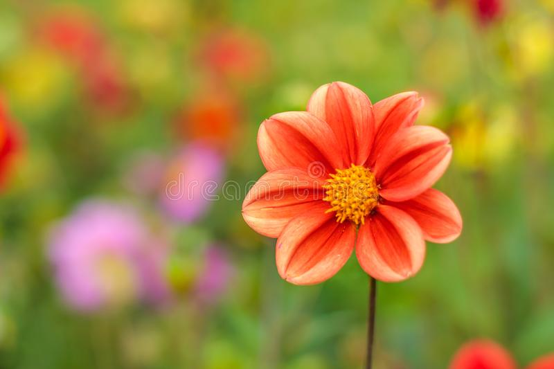 Erstaunlicher schöner bokeh Hintergrund mit heller roter oder rosa oder korallenroter Dahlie blüht Ein bunter Blumennaturgruß ode lizenzfreie stockfotografie