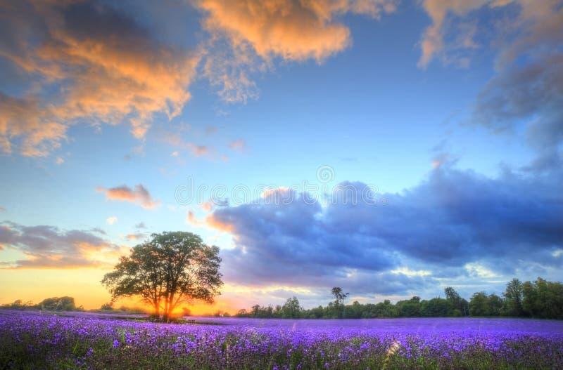 Erstaunlicher Sonnenuntergang über Lavendelfeldern stockfotos