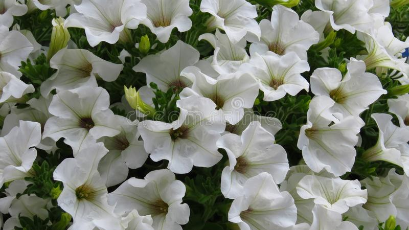 Erstaunlicher weißer Petunienblumenhintergrund stockfotos