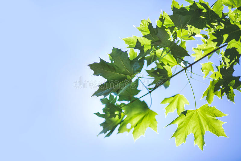 Erstaunliches buntes Laub auf einem hellen blauen Himmel Frühlingsbaumast mit grünen Blättern Umwelt, Natur, Ökologiekonzept stockbilder