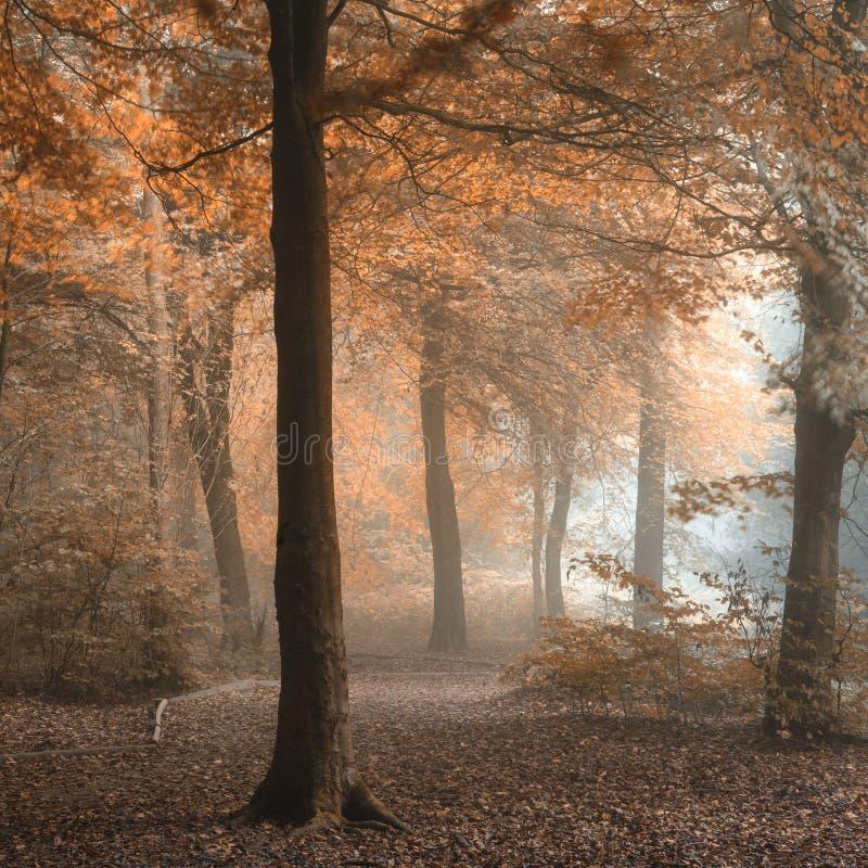 Erstaunliches buntes schwermütiges vibrierendes nebeliges Waldautumn falls landsca lizenzfreie stockbilder
