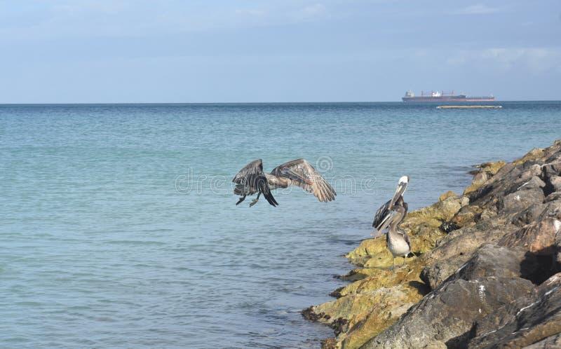 Erstaunliches Foto einer Gruppe wilder Pelikane lizenzfreies stockfoto