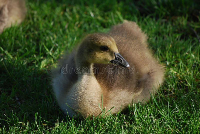Erstaunliches Gesicht eines Babys Gosling, der im Gras stillsteht stockbild