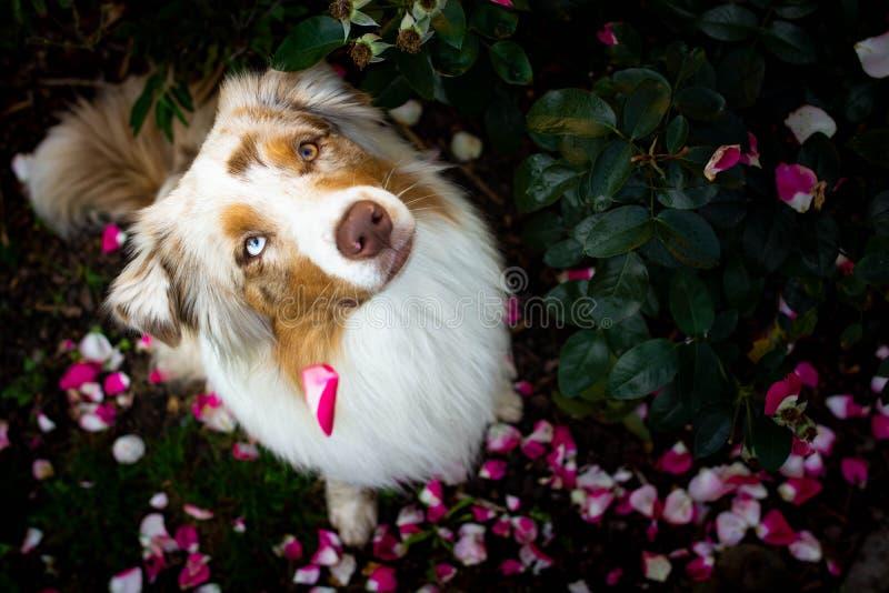 Erstaunliches rotes merle australischer Schäferhund, der zwischen Rosen sitzt lizenzfreie stockbilder