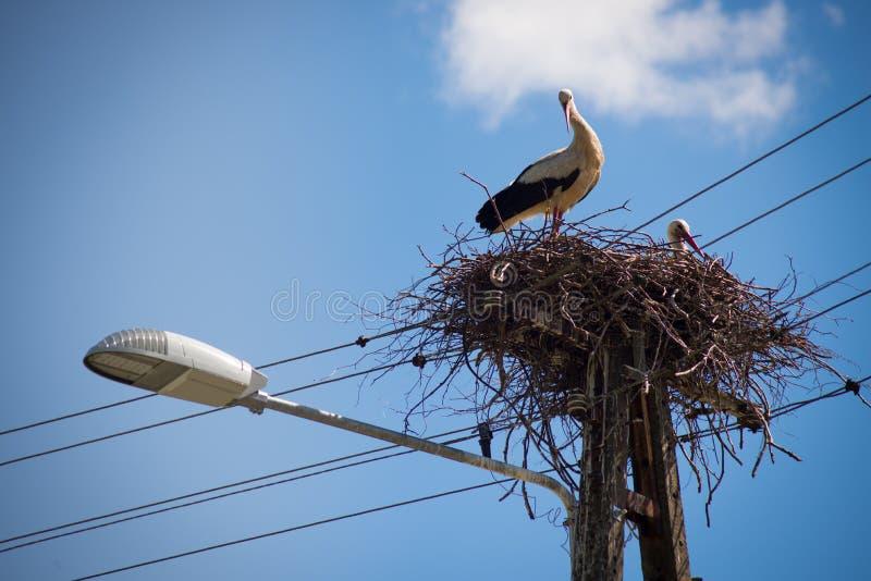 Erstaunliches schwarzes Weiß des bocian Vogels der Schönheit lizenzfreie stockbilder