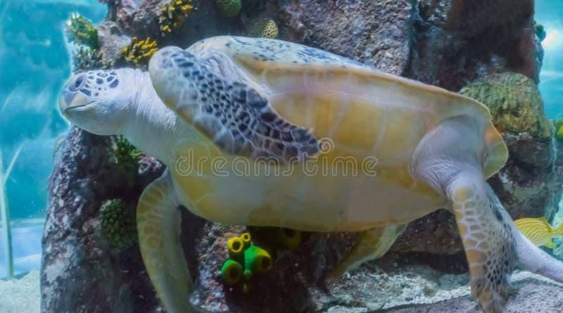 Erstaunliches und großes Grün oder seltene Meeresschildkröteschwimmen des Dummkopfes im Ozean ein Marineseelebentierabschluß hera lizenzfreies stockfoto