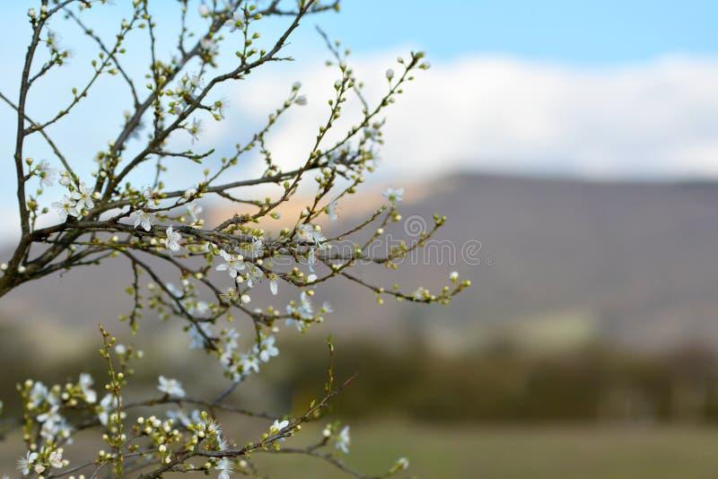 Erste Apfelbaumblüten, die auf dünnen Niederlassungen während des Vorfrühlings weckt vor undeutlichem Hintergrund blühen stockfoto