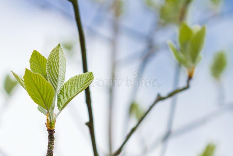 Erste Blätter auf Baum im Frühjahr lizenzfreie stockfotografie