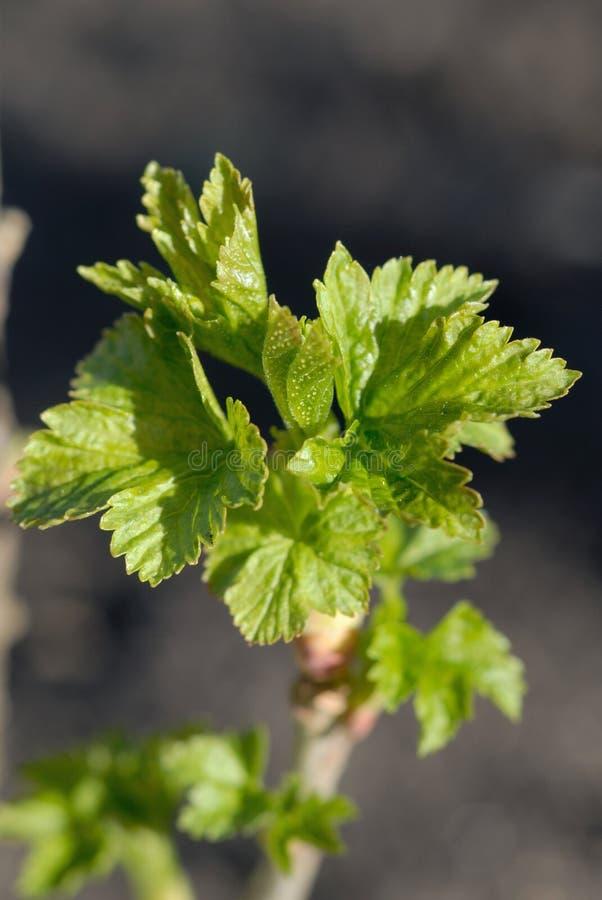 Erste Blätter auf dem Korinthenbusch im Vorfrühling Flache Schärfentiefe stockfotografie