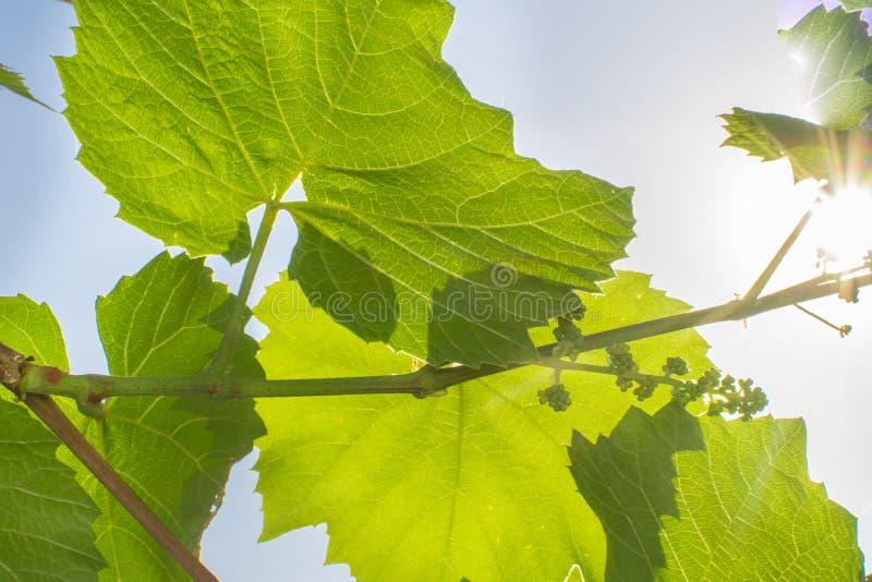 Erste Blätter von Trauben stockfotografie