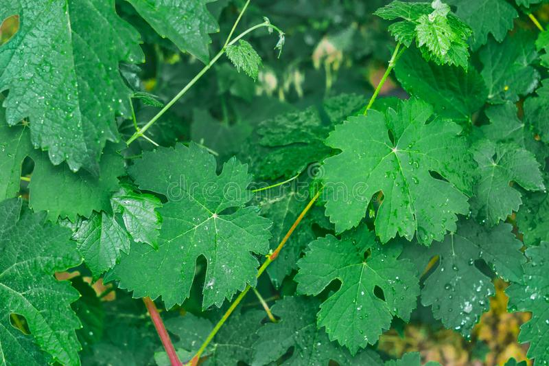 Erste Blätter von Trauben lizenzfreies stockbild