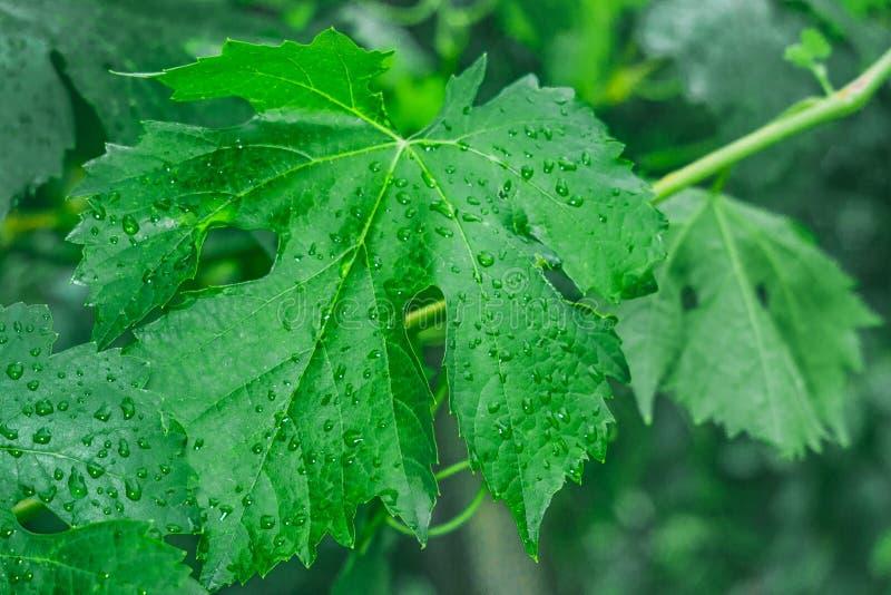 Erste Blätter von Trauben lizenzfreie stockfotos