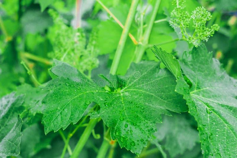Erste Blätter von Trauben lizenzfreie stockfotografie