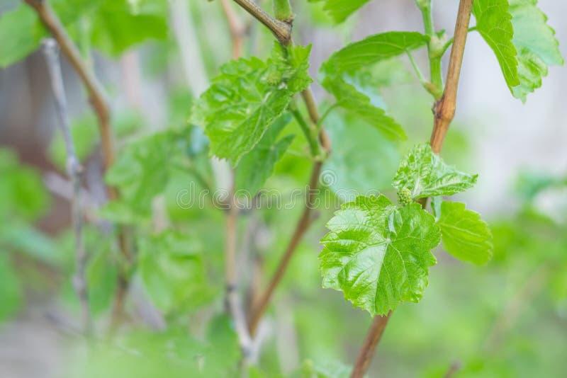 Erste Blätter von Trauben lizenzfreie stockbilder