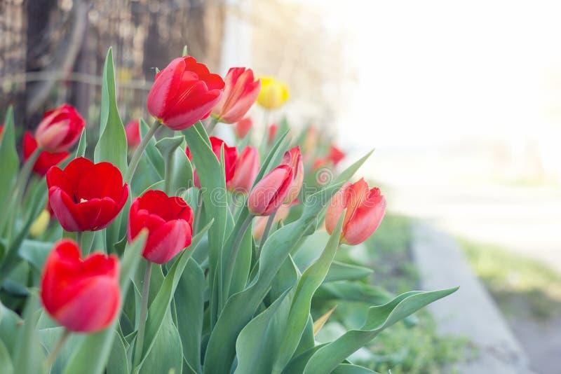 Erste Blumen des Frühlinges, rot lizenzfreies stockfoto