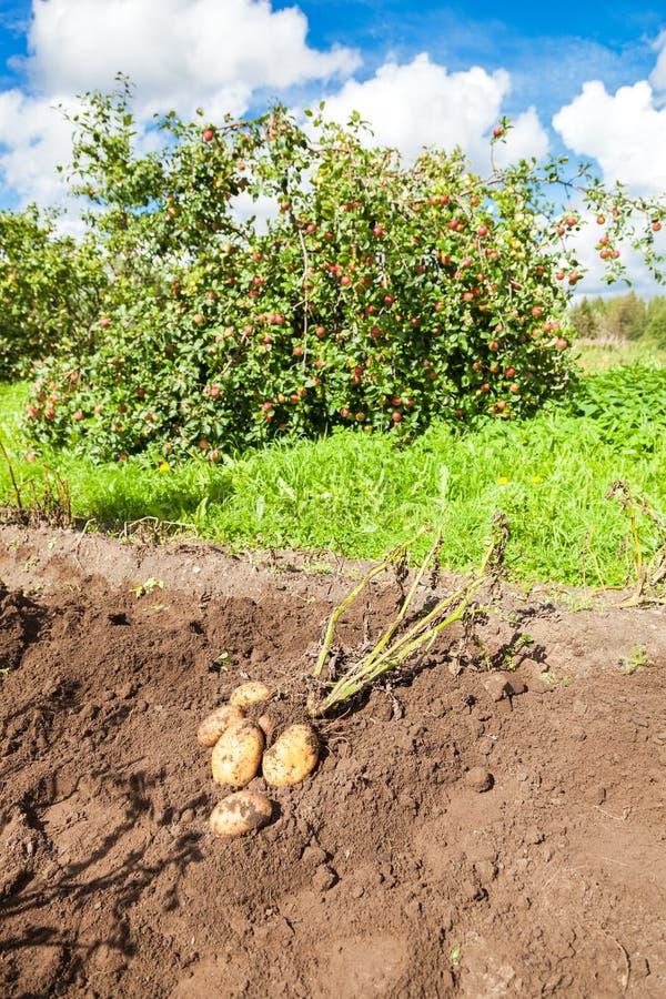 Erste Ernte von organisch gewachsenen Frühkartoffeln stockbilder