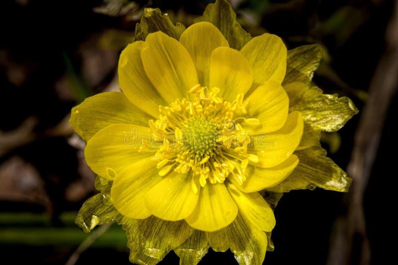 Erste Frühlingsblume Adonis-vernalis lizenzfreie stockfotos