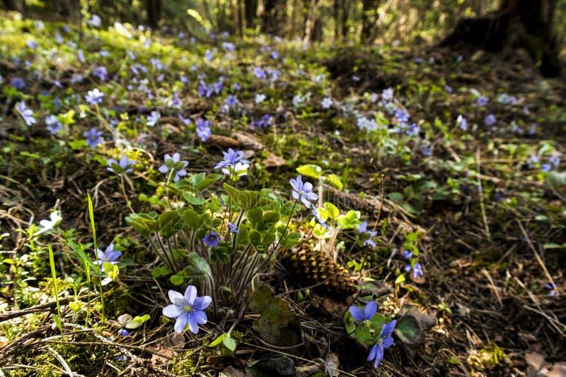 Erste Frühlingsblume - Anemone hepatica lizenzfreie stockbilder