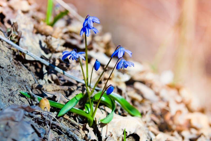 Erste Frühlingsblumen - Scilla Bifolia stockfotografie