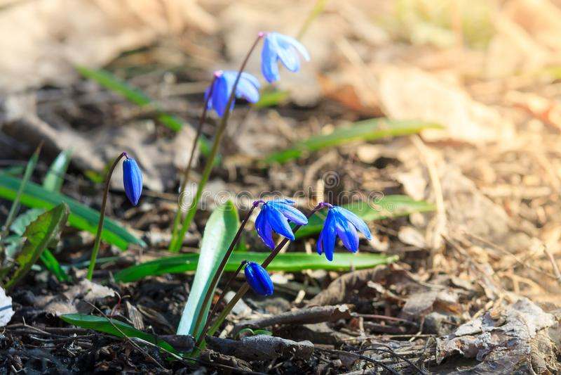 Erste Frühlingsblumen - Scilla Bifolia lizenzfreie stockbilder